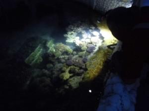 サンゴ夜間